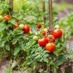 Beginner tips for successful tomato gardening